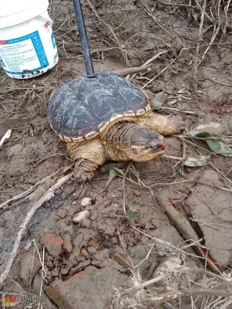 手杆钓起一只大乌龟 放在地上,到处乱爬 凶猛异常,见人便咬 图